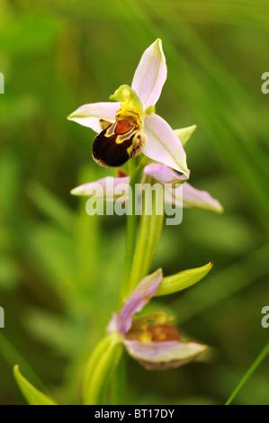 Biene-Orchidee wächst auf Abfall Boden in der Vendee, Frankreich - Stockfoto