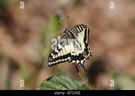 Papilio Machaon, der alten Welt-Schwalbenschwanz - Stockfoto