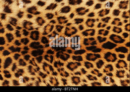 Echtes Leopardenfell. - Stockfoto