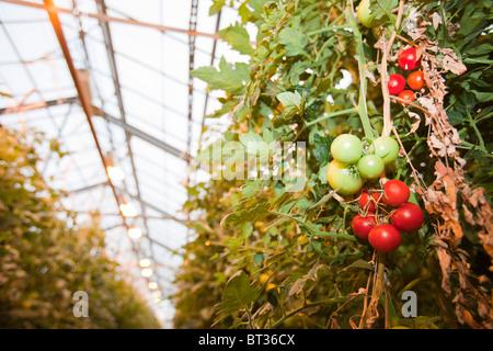 Hveragerdi in Island ist eine geothermische Hot Spot, dieser Erdwärme wird zur lokale Gewächshäusern wachsen Tomaten - Stockfoto
