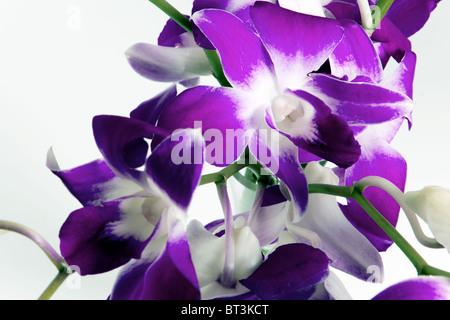 Dendrobium Orchidee stammen mit lila Blüten vor weißem Hintergrund - Stockfoto