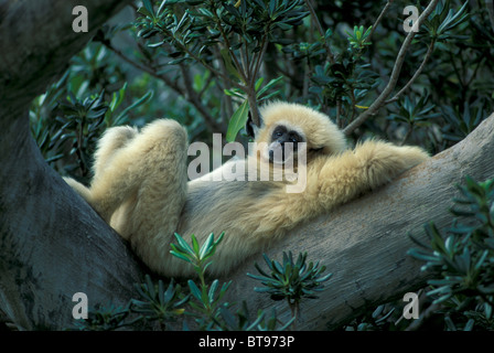 Lar oder weiß-handed Gibbon (Hylobates Lar) - Stockfoto