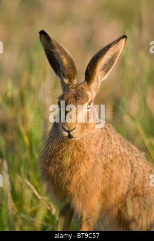 Europäischer Feldhase (Lepus Europaeus) in einem Feld von kürzlich geerntete Gerste. Oxfordshire, England. - Stockfoto
