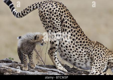 Geparden-Weibchen (Acinonyx Jubatus) mit Cub Duft markieren. - Stockfoto