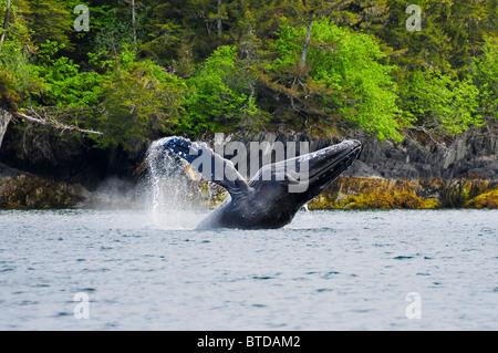 Buckelwal vor der Küste von Jenny-Insel im Prinz-William-Sund, Yunan Alaska, Sommer verletzt - Stockfoto