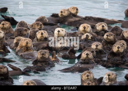 Blick auf Sea Otter Schwimmen im Prince William Sound, Alaska, Yunan, Herbst - Stockfoto