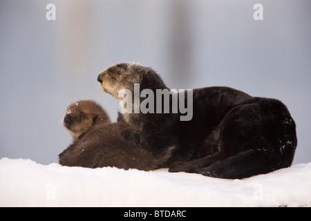 Weiblich-Sea Otter holte auf einem Schnee-Hügel mit neugeborenen Welpen, Prince William Sound, Alaska, Yunan, Winter - Stockfoto