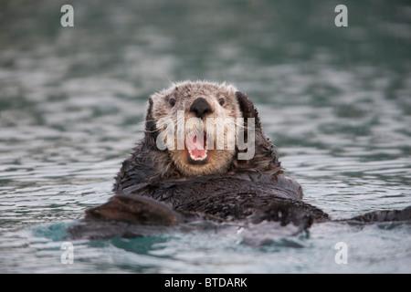 Nahaufnahme von einem Sea Otter schwimmen auf zurück im Prince William Sound, Alaska, Yunan, Winter - Stockfoto