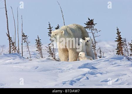 Eine Sau Eisbär (Ursus Maritimus) Betten unten für eine Pause mit ihren Triplet Cubs, Wapusk-Nationalpark, Manitoba, - Stockfoto