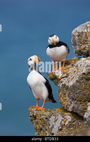 Gehörnte Puffin paar thront auf Felsvorsprung mit dem Beringmeer im Hintergrund, Saint-Paul-Insel, Pribilof Islands, - Stockfoto