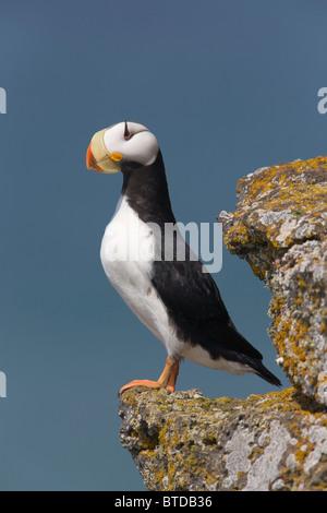 Gehörnten Puffin thront auf einem Felsvorsprung mit dem Beringmeer im Hintergrund, Saint-Paul-Insel, Pribilof Inseln, - Stockfoto