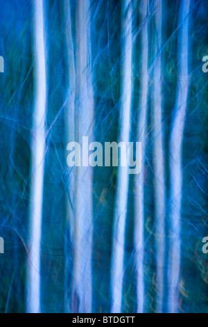 Zusammenfassung des Aspen Bäume entlang der Tony Knowles Coastal Trail im Herbst, Anchorage, Yunan Alaska - Stockfoto