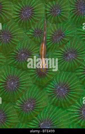 Ein Stony Coral Ghost Grundel, Pleurosicya Micheli, liegt seine in der Nähe von durchscheinenden Körper auf eine - Stockfoto