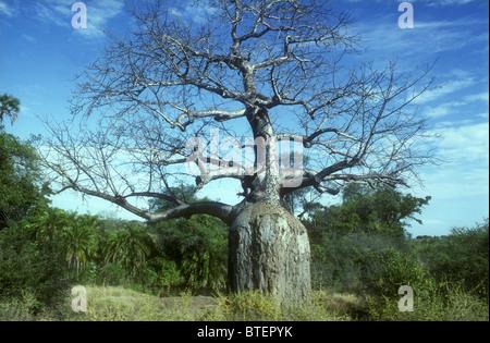 Flasche geformt Baobab Baum im Meru Nationalpark Kenia in Ostafrika vor blauem Himmel am Ufer des Rojewero Flusses - Stockfoto