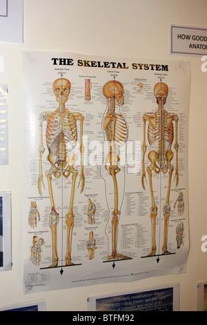 Menschliches Skelett mit den Knochen des Körpers Stockfoto, Bild ...