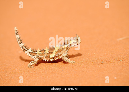 Australien, Northern Territory, Uluru-Kata Tjuta National Park, Thorny Devil in Wüste - Stockfoto