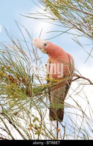 Australien, Northern Territory, Uluru, Rosakakadu Vogel auf Zweig - Stockfoto