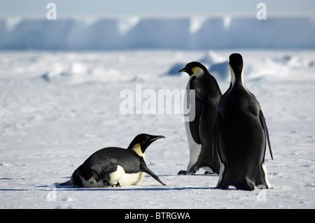 Penguin-Gruppe in der Antarktis - Stockfoto