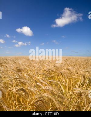 Ein Bereich der Gerste Reifung unter einem strahlend blauen Sommerhimmel Stockfoto