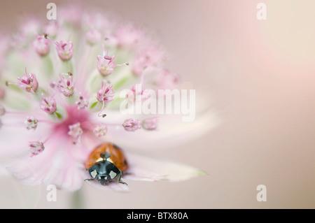 Coccinella Septempunctata - Coccinella 7-Trommler-7-Punkt Marienkäfer auf einer Astrantia Blume - Stockfoto