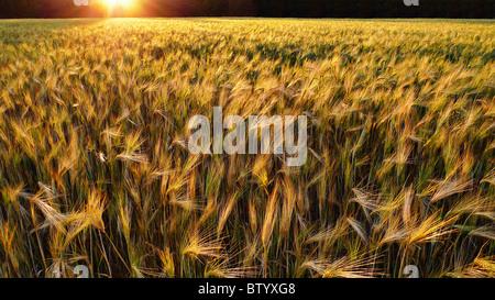 Sonnenuntergang über einem goldenen Weizenfeld.