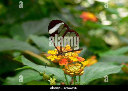 Morgane Glasswing Schmetterling Greta Oto - Stockfoto
