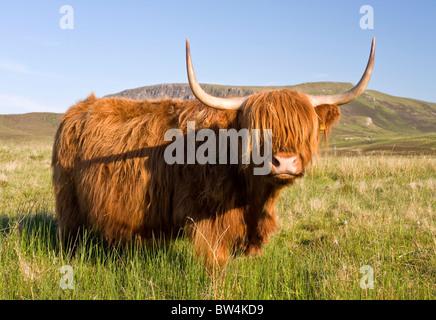 Schottische Highland Kuh - Stockfoto