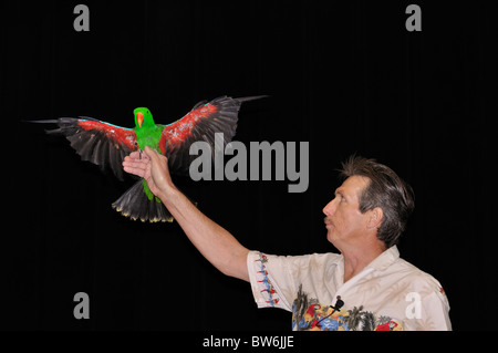 Papageien-Show - Red-winged Parrot (Aprosmictus Erythropterus) - Stockfoto