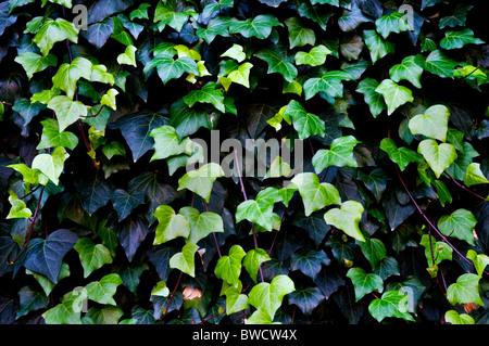 Nahaufnahmen von einem gemeinsamen ivy Stockfoto
