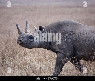 Ein reiferen männlichen Nashorn im Ngorongoro-Krater. - Stockfoto