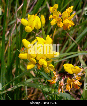 Ginster (Cytisus Scoparius) gemeinsame wild blühender Strauch - Stockfoto