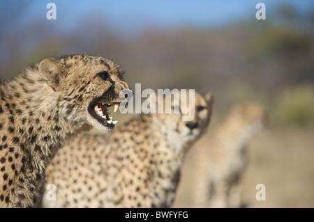 Gepard (Acinonyx Jubatus) knurrend mit anderen im Hintergrund, Namibia - Stockfoto
