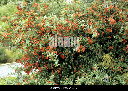 Feuerdorn (Pyracantha SP.), Sorte: rote Spalte, Strauch mit Beeren. - Stockfoto