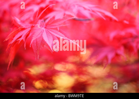 atmosphärische verträumte rot-Ahornbaum, reich und üppig - Kunstfotografie Jane Ann Butler Fotografie JABP927 - Stockfoto