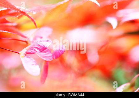 stimmungsvoll und verträumt rot-Ahorn mit geflügelten Samaras Jane Ann Butler Fotografie JABP914 - Stockfoto