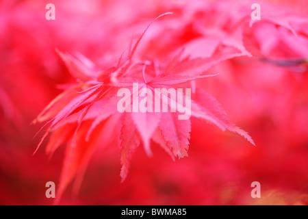 stimmungsvoll und verträumt rot-Ahornbaum, reich und üppig - Kunstfotografie Jane Ann Butler Fotografie JABP926 - Stockfoto