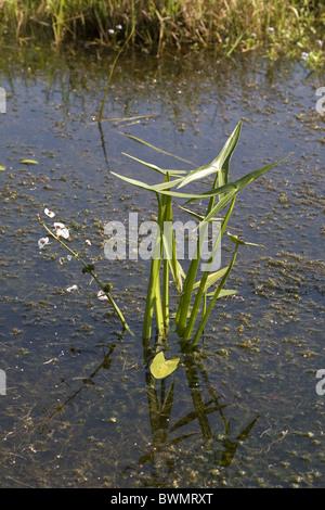 Blühende Pfeilspitze (Sagittaria Sagittifolia) in einem Graben, Bleskensgraaf, Süd-Holland, Niederlande - Stockfoto