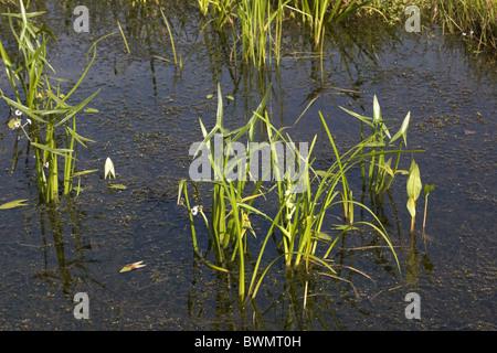 Graben mit Pfeilspitze (Sagittaria Sagittifolia) und verzweigten Bur-Reed (Sparganium Erectum), Bleskensgraaf, Niederlande - Stockfoto