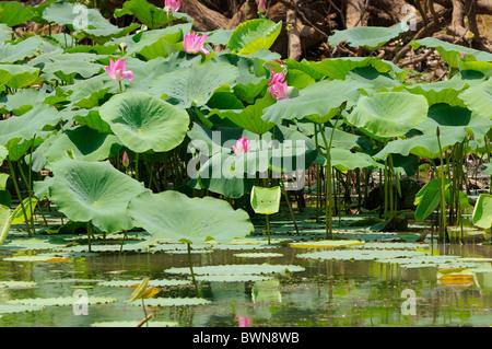 Lotus Lilie oder Heilige Lotus (Nelumbo nucifera) in Kakadu National Park, Northern Territory, Top End, Australien - Stockfoto