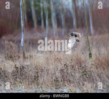 Wilde Short Eared Owl-Jagd über grobe Grasland in Leicestershire - Stockfoto