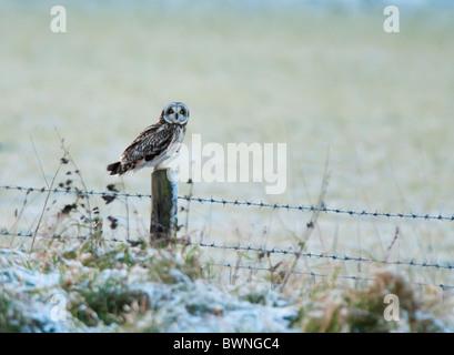 Wilde Short Eared Owl thront auf hölzernen Zaunpfosten in Leicestershire - Stockfoto