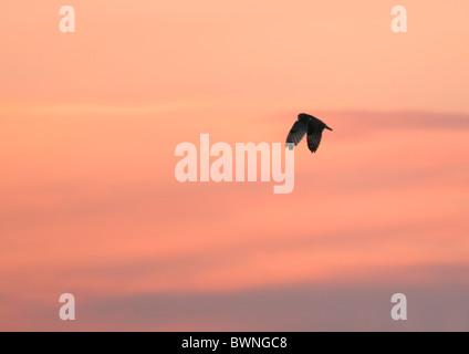 Wilde Short Eared Eule fliegt hoch gegen lebendige Sonnenuntergang in Leicestershire - Stockfoto