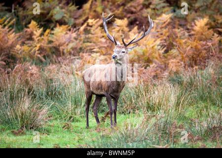 Red Deer; Cervus Elaphus; Hirsch; Herbst - Stockfoto