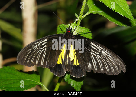 Gemeinsamen Birdwing Troides Helena Schmetterling - Stockfoto