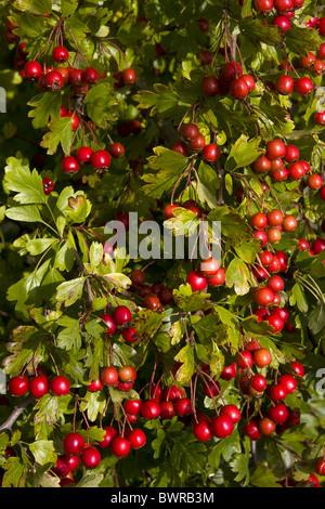 rote Beeren von Weißdorn Bush, Crataegus monogyna - Stockfoto