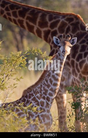 Porträt einer Giraffe (Giraffa Plancius) im Busch. Das Foto wurde im Krüger Nationalpark, Südafrika. - Stockfoto