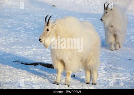 Bergziege (Oreamnos Americanus), Yukon Territorium, Kanada - Stockfoto