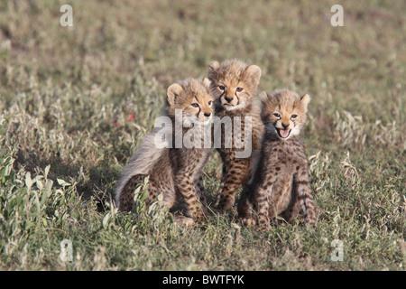 Cheetah Cubs Cheetah Cubs Predator Hunter Geschwindigkeit schnell schnellste Raubkatze junge Babys weinen Kontakt - Stockfoto