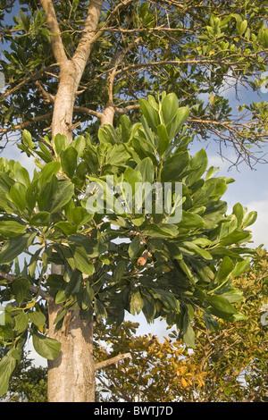 Asiatische Pflanzen pflanzen olive from the kohler medicinal pflanzen gesundes