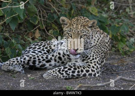 Leopard sitzend mit Zunge heraus - Stockfoto